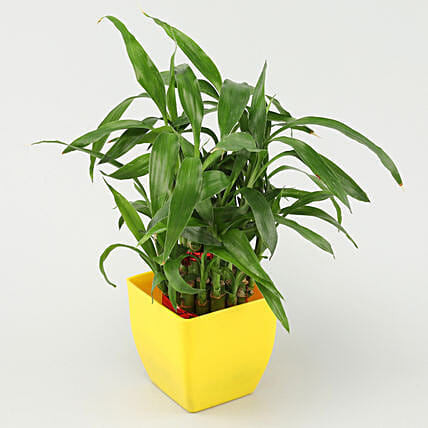 2 layer bamboo with yellow pot