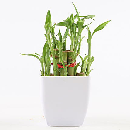 Lucky Bamboo with Pot Online