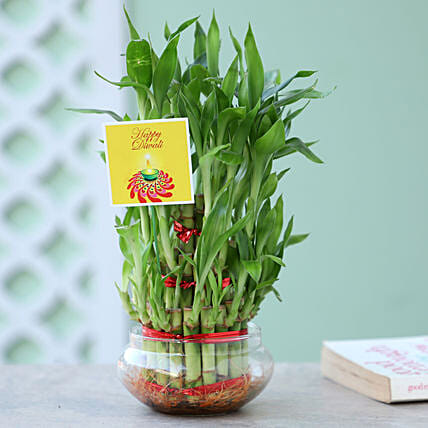 exclusive lucky bamboo for diwali