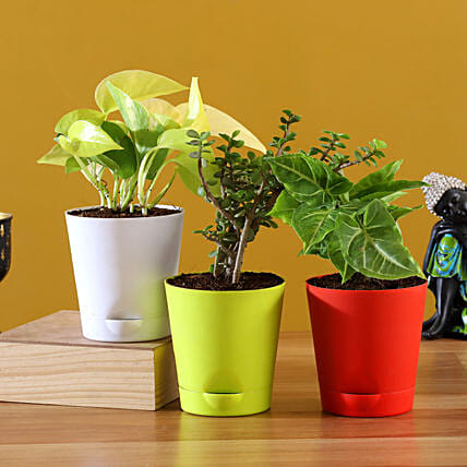 Online  Plants With Multicoloured Pots:Indoor Plants