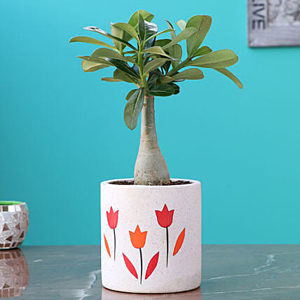 Adenium Rose Plant in Ceramic Planter