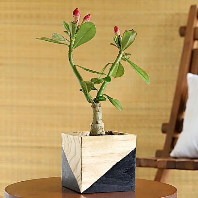 Adenium Desert Rose Plant In Black Wooden Pot