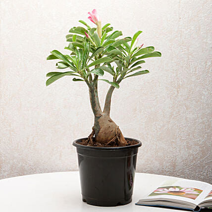 Adenium desert rose plant in a vase:Buy Flowering Plants