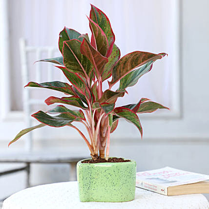 Online Aglaonema Lipstick In Heart Shaped Pot