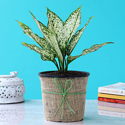 Aglaonema Plant In Black Plastic Pot