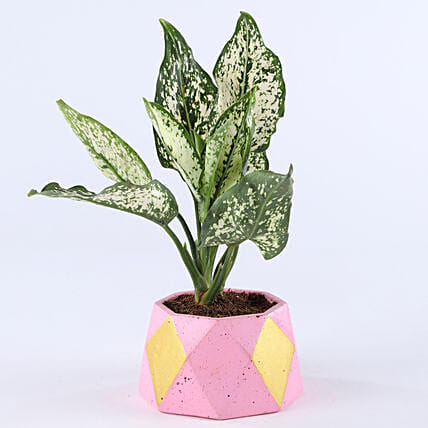 aglaonema plant in geometry pot:Concrete Planters