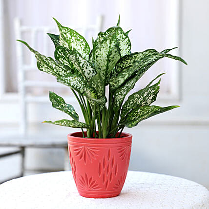 Online Plant In Red Ceramic Pot