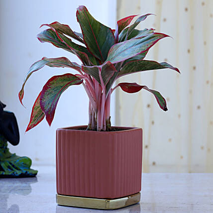 Aglaonema Plant In Square Planter With Gold Plate