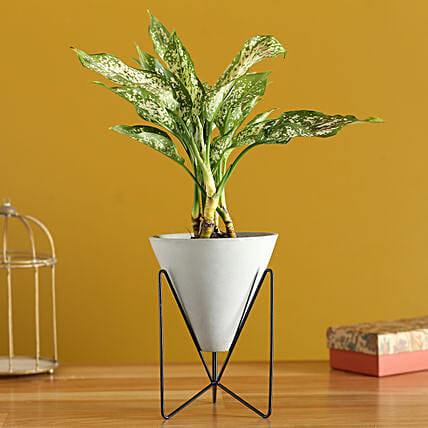 Aglaonema Plant In Triangular Pot With Stand