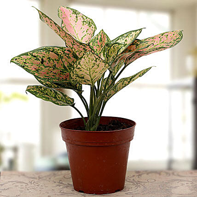 plant-Agla1ma plant:Foliage Plants