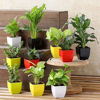 Air Purifying Plants- Set Of 10