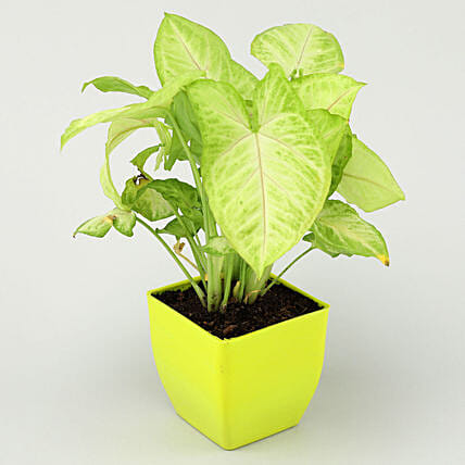 Air Purifying Syngonium Plant In Green Pot