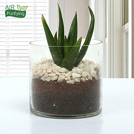 Aloe vera plant in a round glass vase:Terrariums Plants