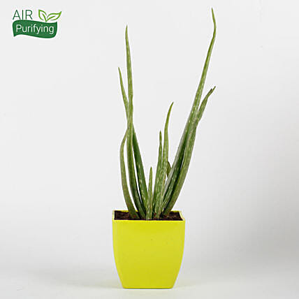 Aloe Vera Plant in Yellow Imported Plastic Pot:Herbs and Medicinal Plants