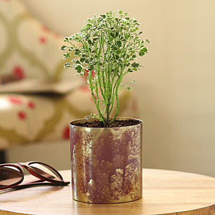 house warming plants online