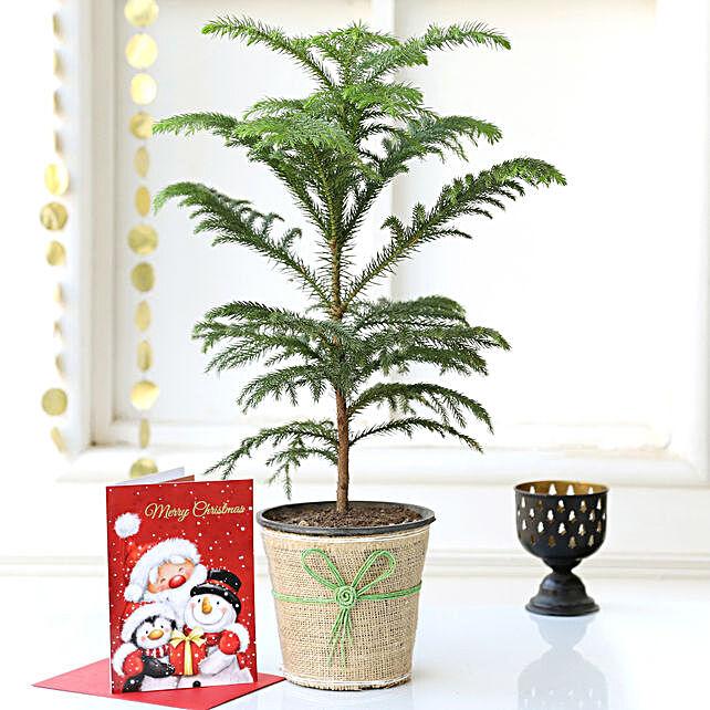 Araucaria Plant Online:Christmas Tree