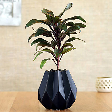 Baby Cordyline Plant In Black Conical Pot