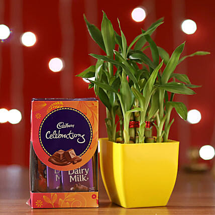 Bamboo Plant & Cadbury Celebrations Box:Send Lucky Bamboo for Diwali