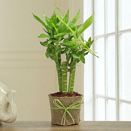 3 cut leaf bamboo plant with white vase:Lucky Bamboo for Anniversary