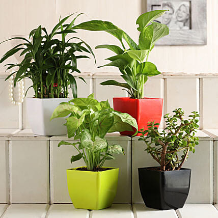 Buy Plant Set:Lucky Bamboo for Anniversary
