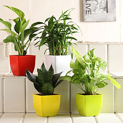 Buy Online Plant Set:Send Lucky Bamboo for Anniversary