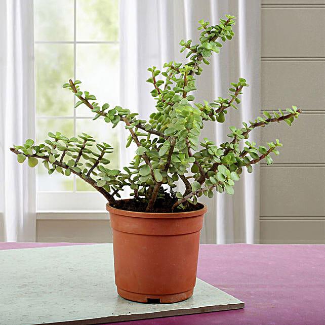 Succulent Plants Online
