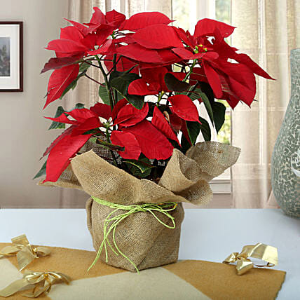 Red Poinsettia plant:Flowering Plants