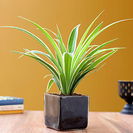 Online Potted Spider Plant