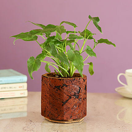 Foliage Plant In Cork Pot Online:Cork Planters