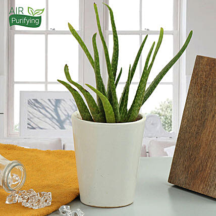 Aloe vera plant in a vase:Herbs and Medicinal Plants