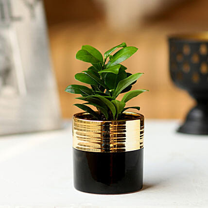 Black Pot of Ficus Plant