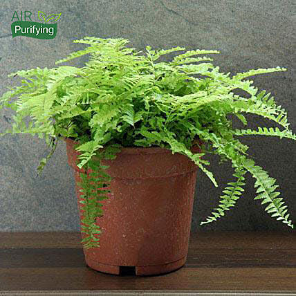 Boston fern plant in a plastic vase