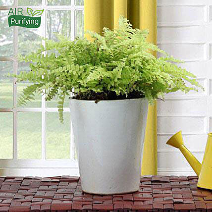 Boston fern plant in a ceramic vase:Exotic Plant Gifts