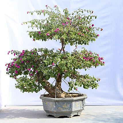 Colourful Bonsai Tree Online