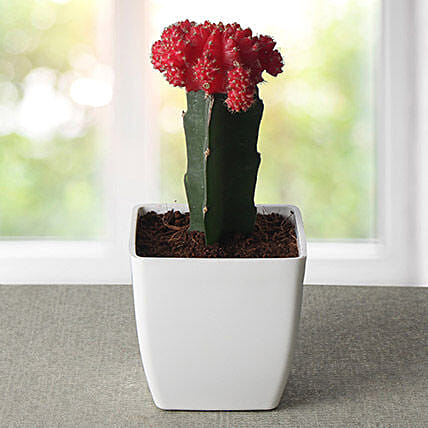 Moon cactus plant in a red plastic vase:Exotic Plant Gifts
