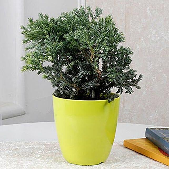 Bushy plant in green pot