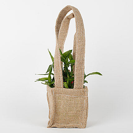 2 Layer Lucky Bamboo Plant Online:Gifts for Basant Panchami