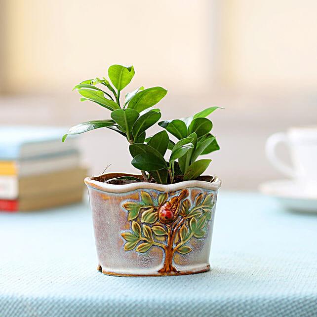 Ceramic Pot of Ficus Plant