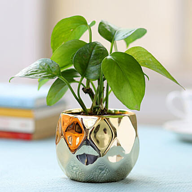 Ceramic Potted Money Plant