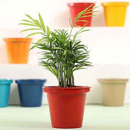 Colourful Indoor Plant Online