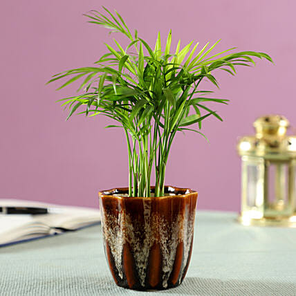 palm plant in brown ceramic pot online