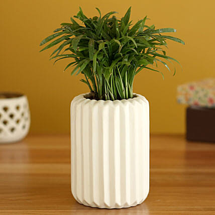 Chamaedorea Plant In White Ceramic Planter
