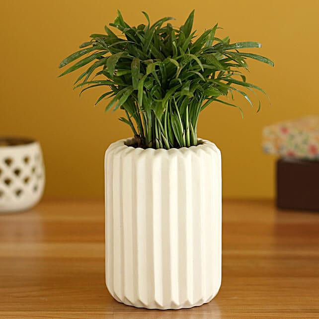 Chamaedorea Plant In White Ceramic Planter