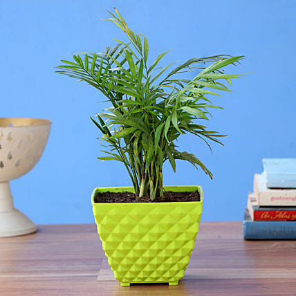 Chamaedorea Plant With Square Plastic Pot