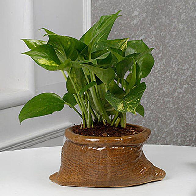 Money Plant for home Décor