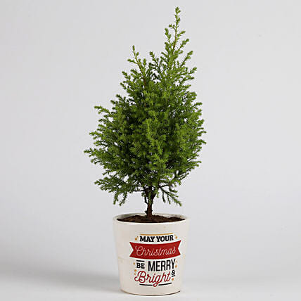cyprus plant in printed plant for Christmas:Buy Christmas Tree