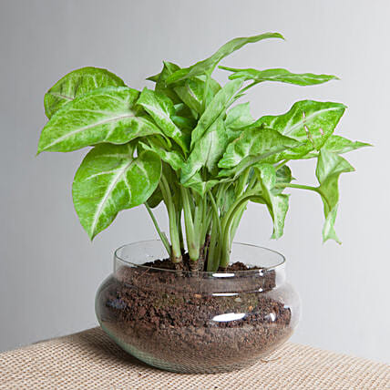 Syngonium golden plant  in a round glass potpourrie vase:Foliage Plants