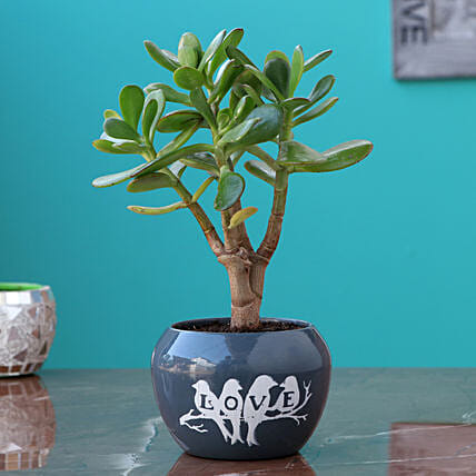 Crassula Plant In Love Birds Pot