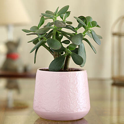 Crassula Plant In Pink Flower Ceramic Pot:Ceramic Planters