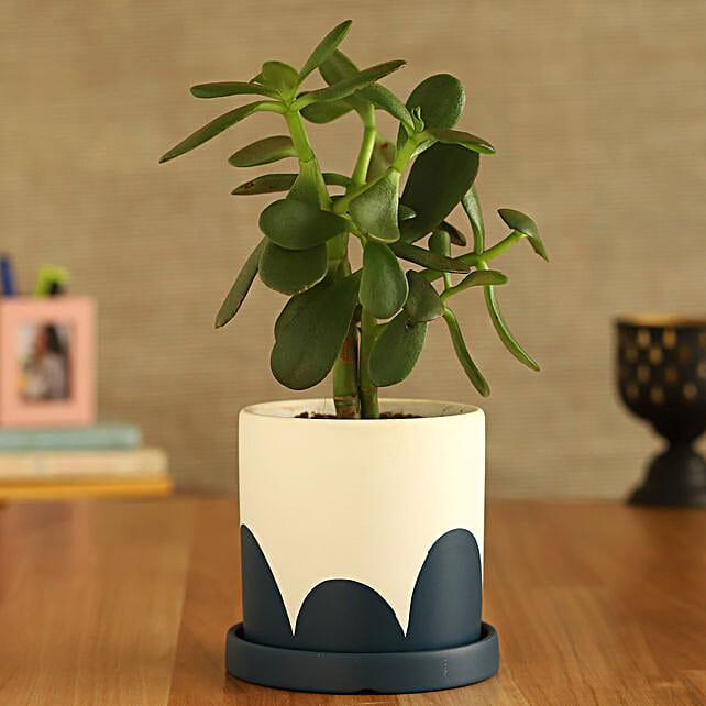 Crassula Plant In White And Blue Ceramic Plate Pot:Plants Delivery